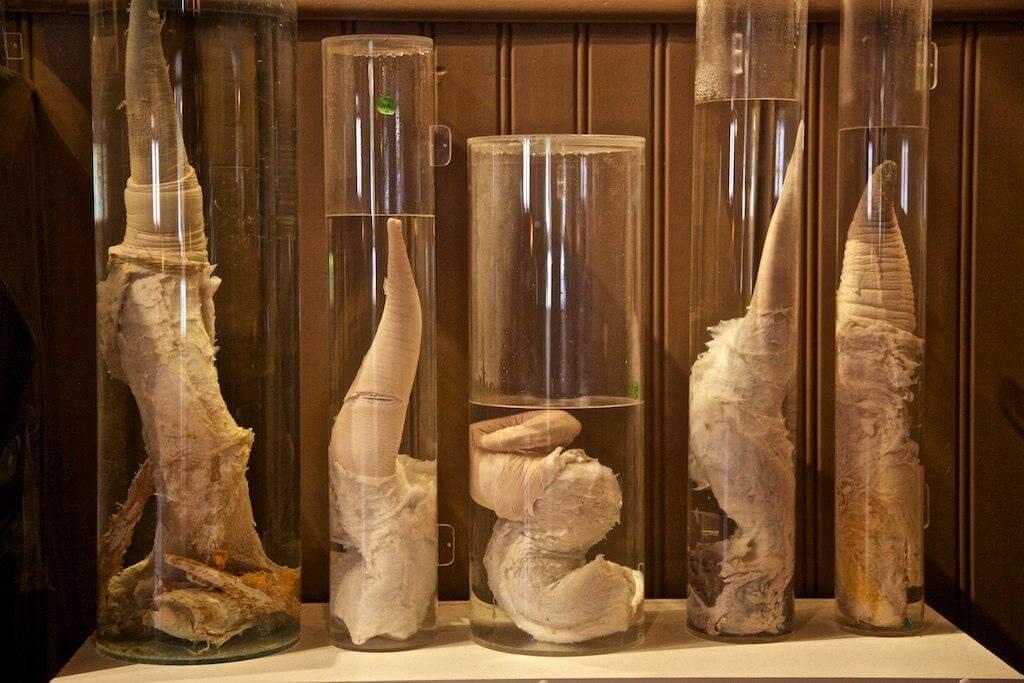 Фоллосы разных животных в стеклянных колбах.