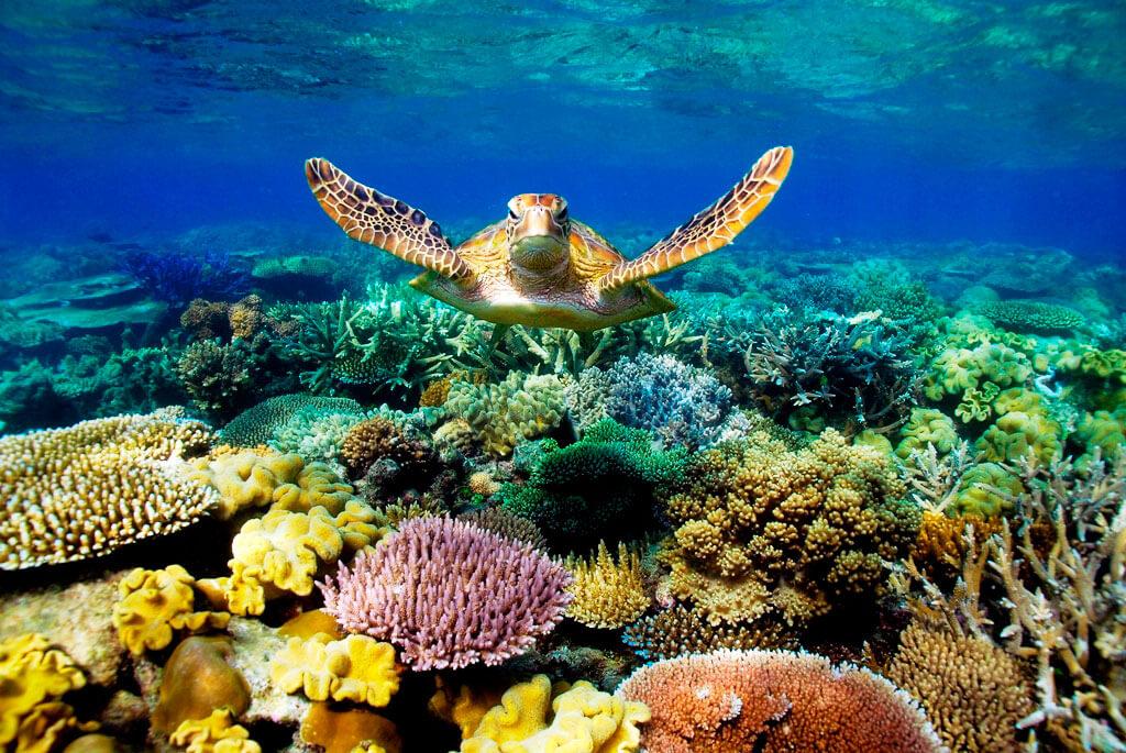 Черепаха плывет среди кораллов.