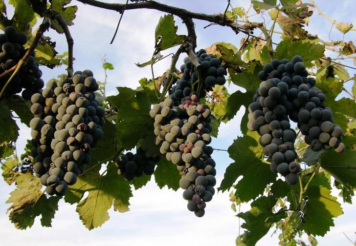 Винодельня Чобо