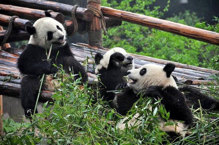 chendu-pandy