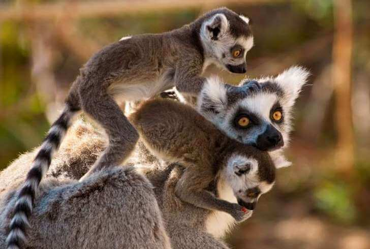 lemury-madagaskara